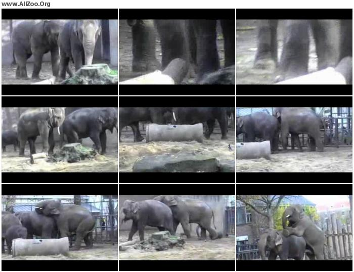 edb706951516314 - Elephant Mating In Zoo - HomeMade Private ZooSex Video