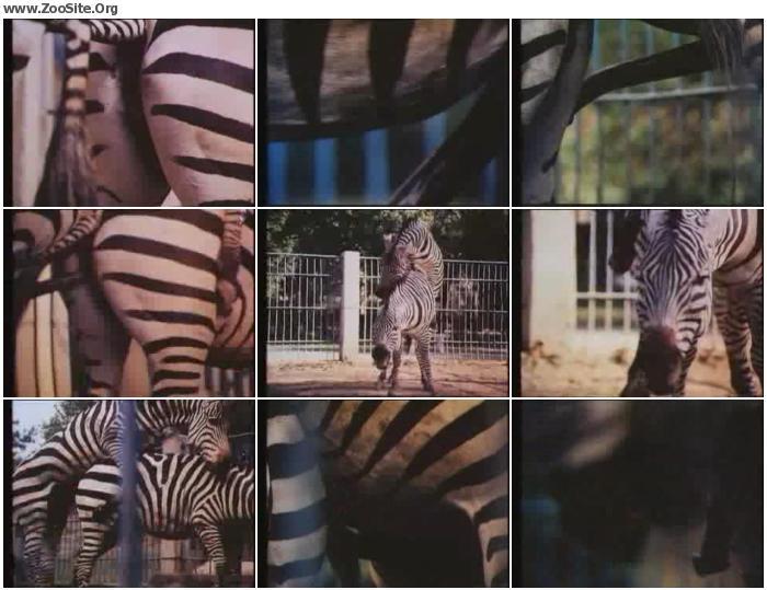 c011011161184074 - Zebras Sex - ZooSex Tube Amateur