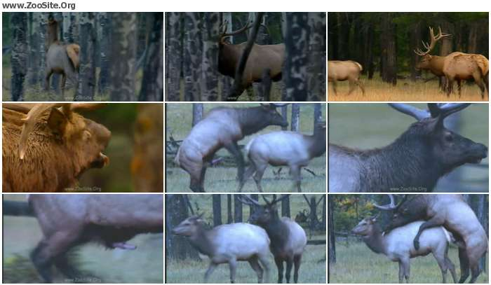 91de9e978352514 - Dmat End Deer Matingd [Animal Porn HD-720p]