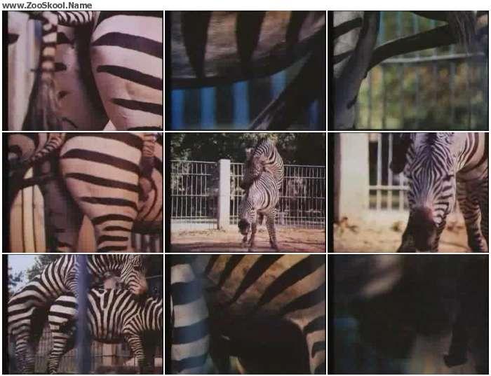 23519f1324215090 - Zebras Sex - Zoo Tube Video