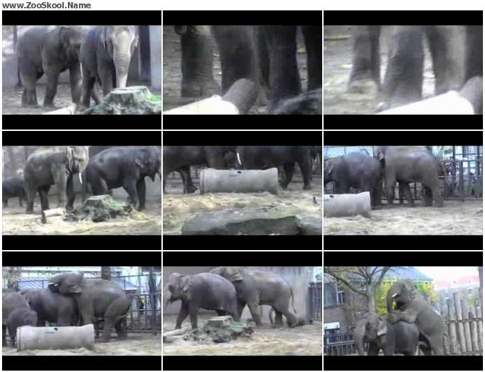 2b67dc1313851849 - Elephant Mating In Zoo - Zoo Tube Video